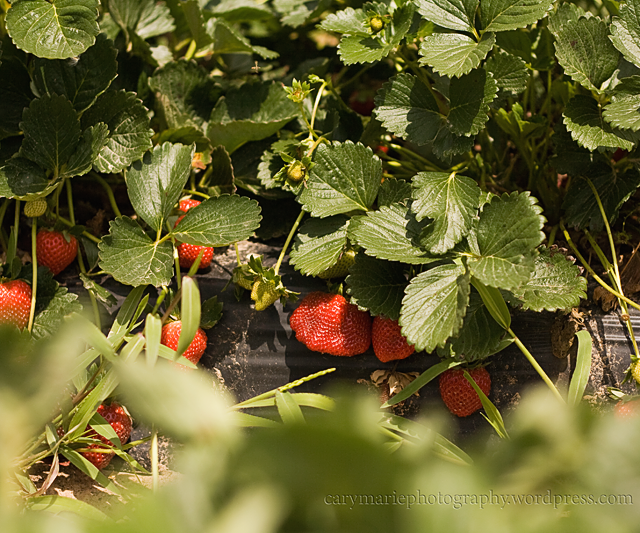 STRAWBERRY PICKING 001